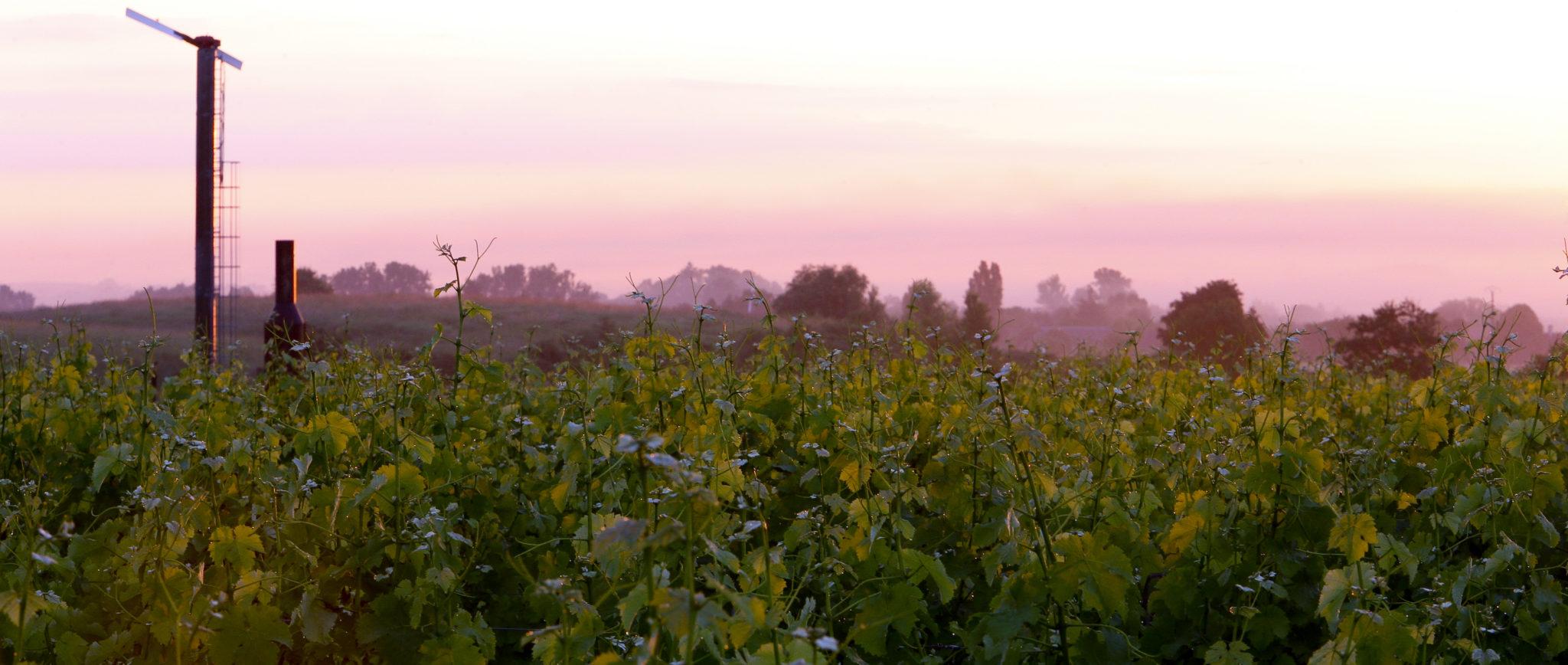 Joseph Mellot - piochage de jeunes vignes sur le domaine MARTIN à Chavignol